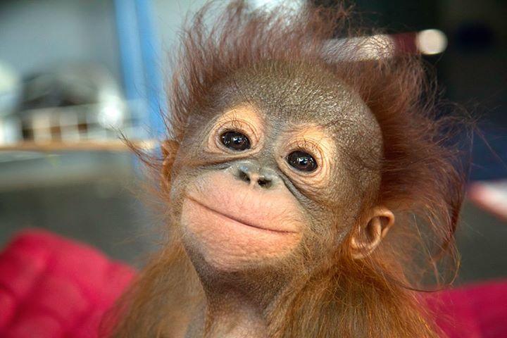 baby-orangutan (2)a
